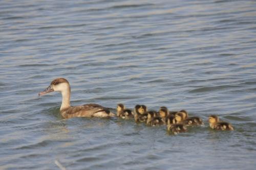 El parque natural censa unas 200.000 aves que inviernan en el Delta del Ebro